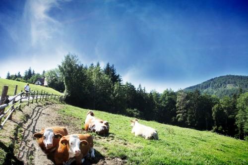 Kühe am Radweg